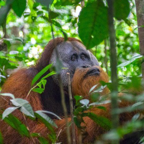 sumatra orang utans