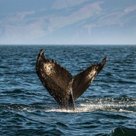reiseziele_island-whale-watching-husavik-adventures-buckelwal